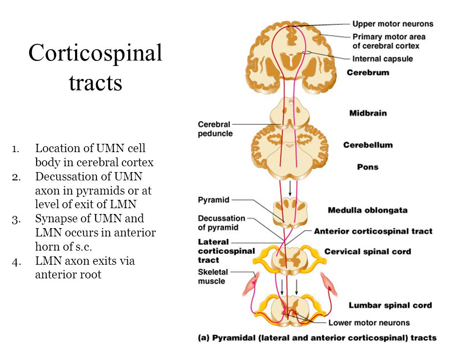 Corticospinal tracts Location of UMN cell body in cerebral cortex