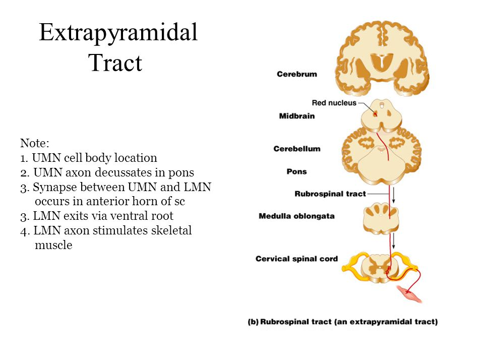 Extrapyramidal Tract Note: 1. UMN cell body location 2. UMN axon decussates in pons 3. Synapse between UMN and LMN.