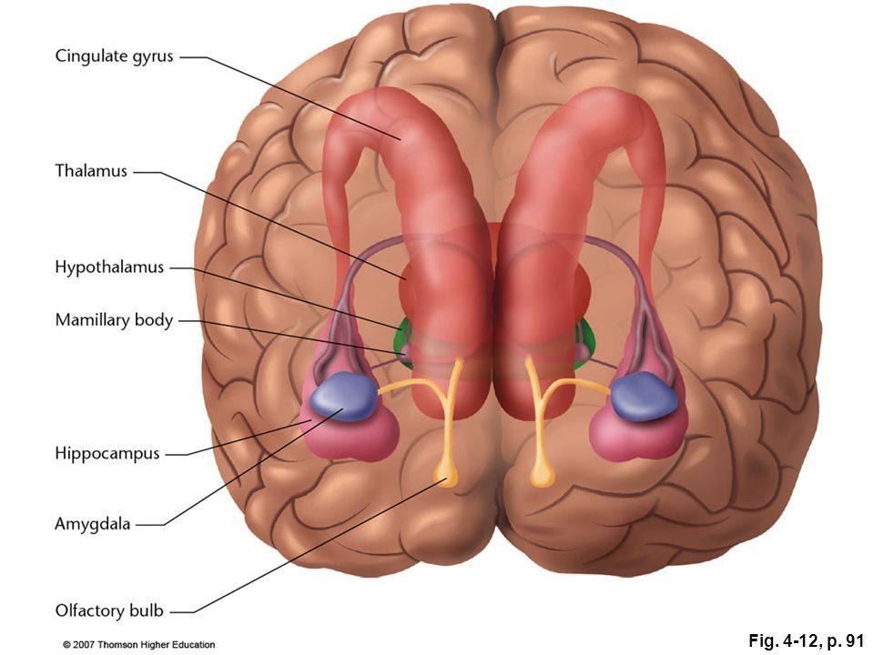 Figure 4.12: The limbic system is a set of subcortical structures that form a border (or limbus) around the brainstem.