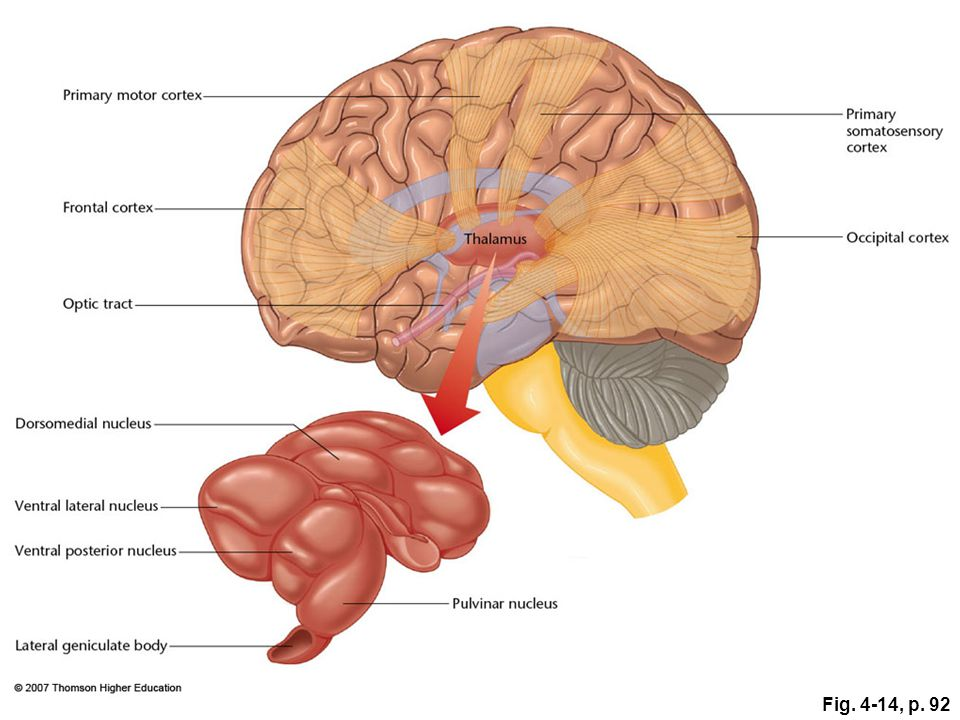Figure 4.14: Routes of information from the thalamus to the cerebral cortex.