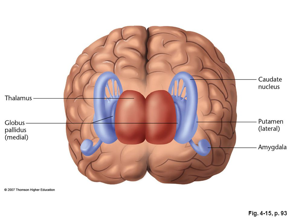 Fig. 4-15, p. 93 Figure 4.15: The basal ganglia.