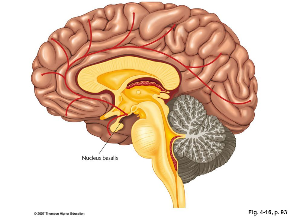 Fig. 4-16, p. 93 Figure 4.16: The basal forebrain.