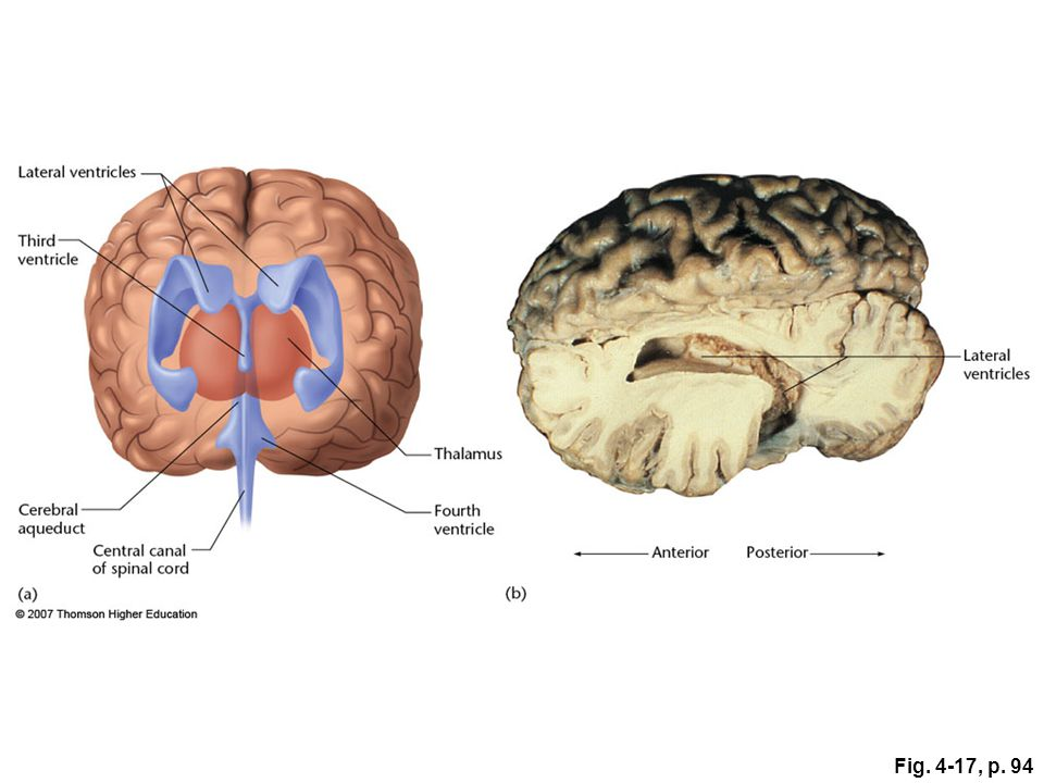 Fig. 4-17, p. 94 Figure 4.17: The cerebral ventricles.