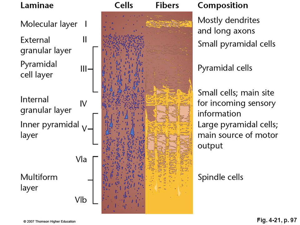 Figure 4.21: The six laminae of the human cerebral cortex.