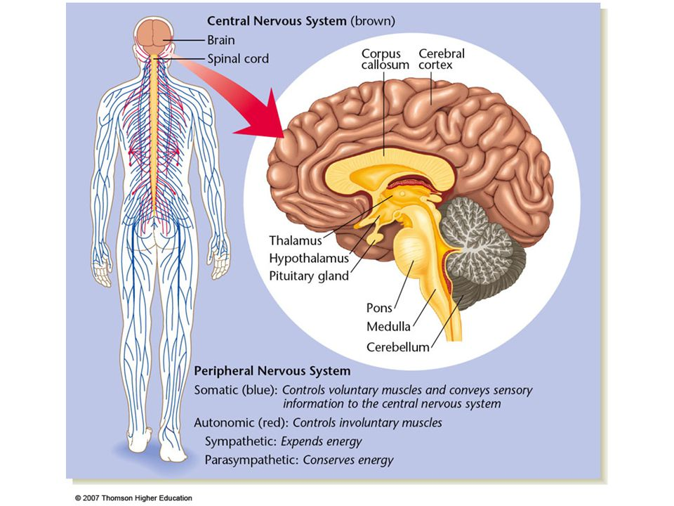 Figure 4.1: The human nervous system.