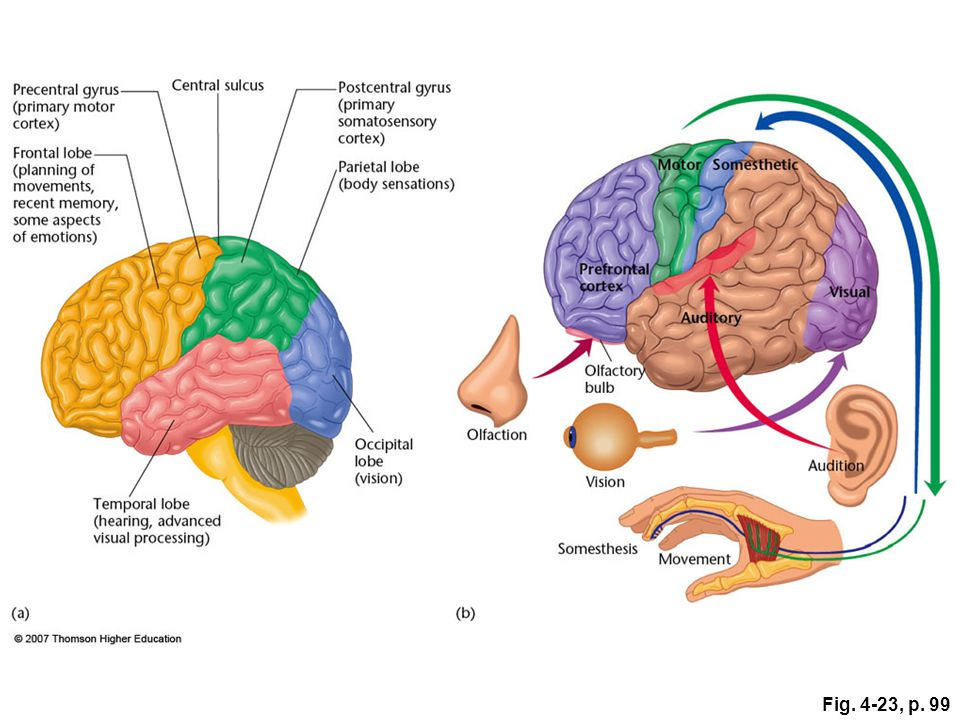 Fig. 4-23, p. 99 Figure 4.23: Areas of the human cerebral cortex.