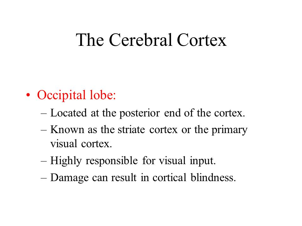 The Cerebral Cortex Occipital lobe: