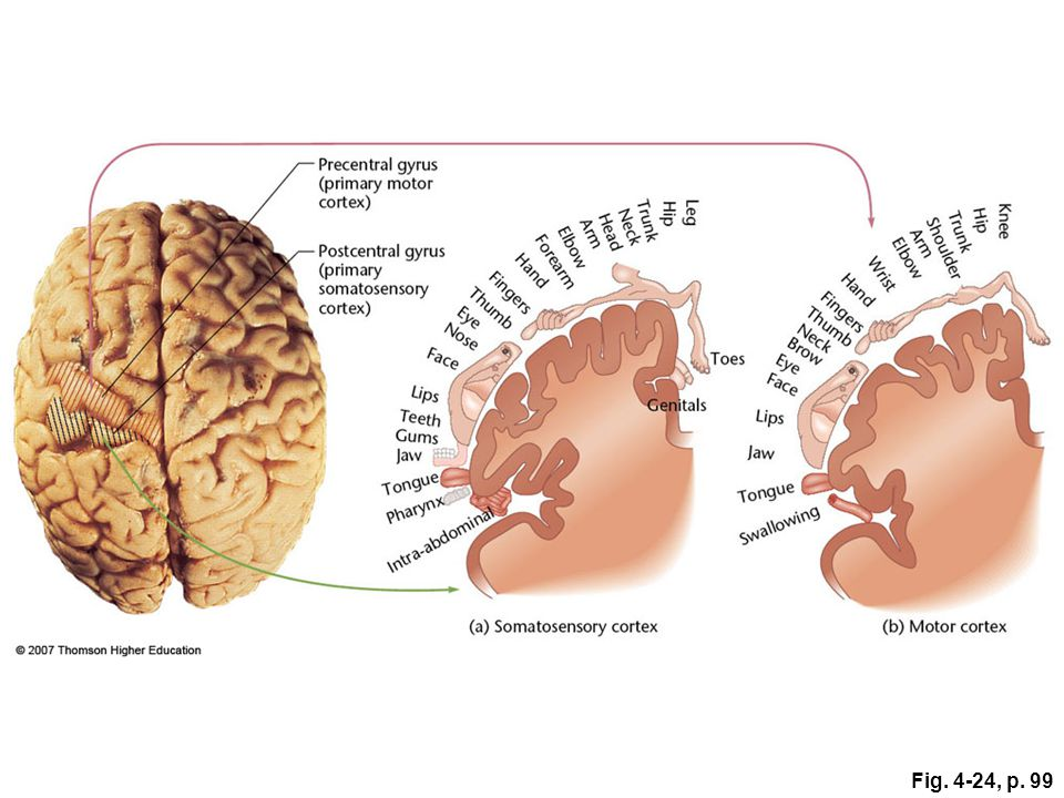 Figure 4.24: Approximate representation of sensory and motor information in the cortex.