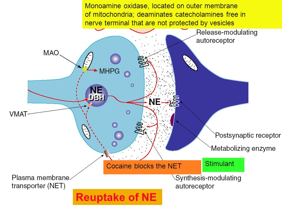 Reuptake of NE Monoamine oxidase, located on outer membrane