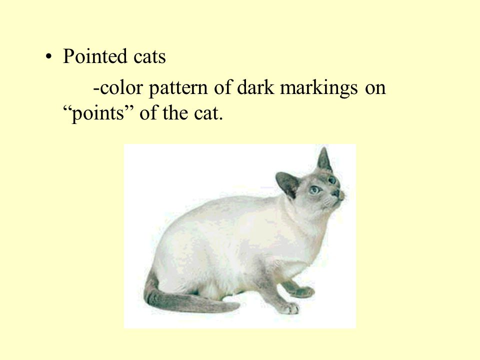 Pointed cats -color pattern of dark markings on points of the cat.