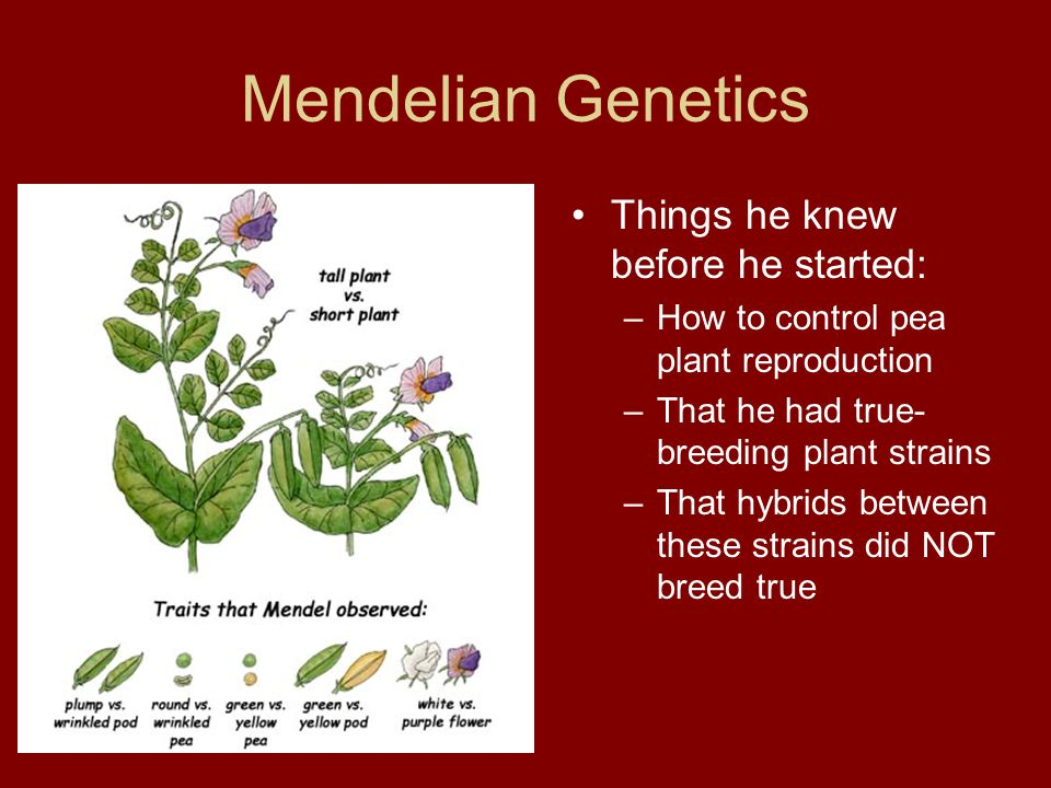 Mendelian Genetics Things he knew before he started: