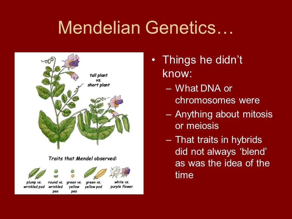 Mendelian Genetics… Things he didn't know: