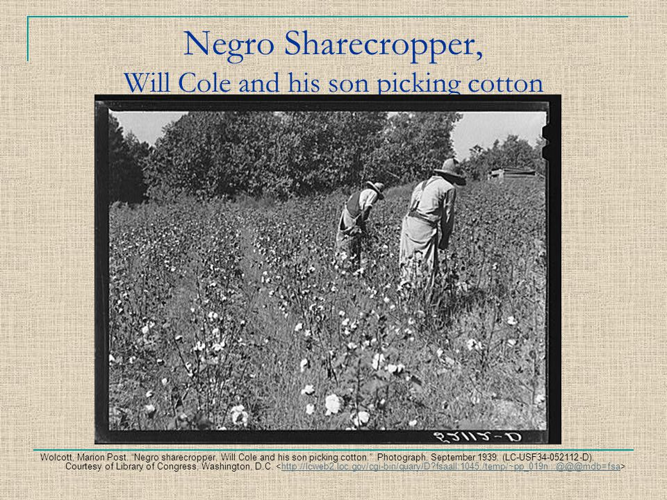 Negro Sharecropper, Will Cole and his son picking cotton