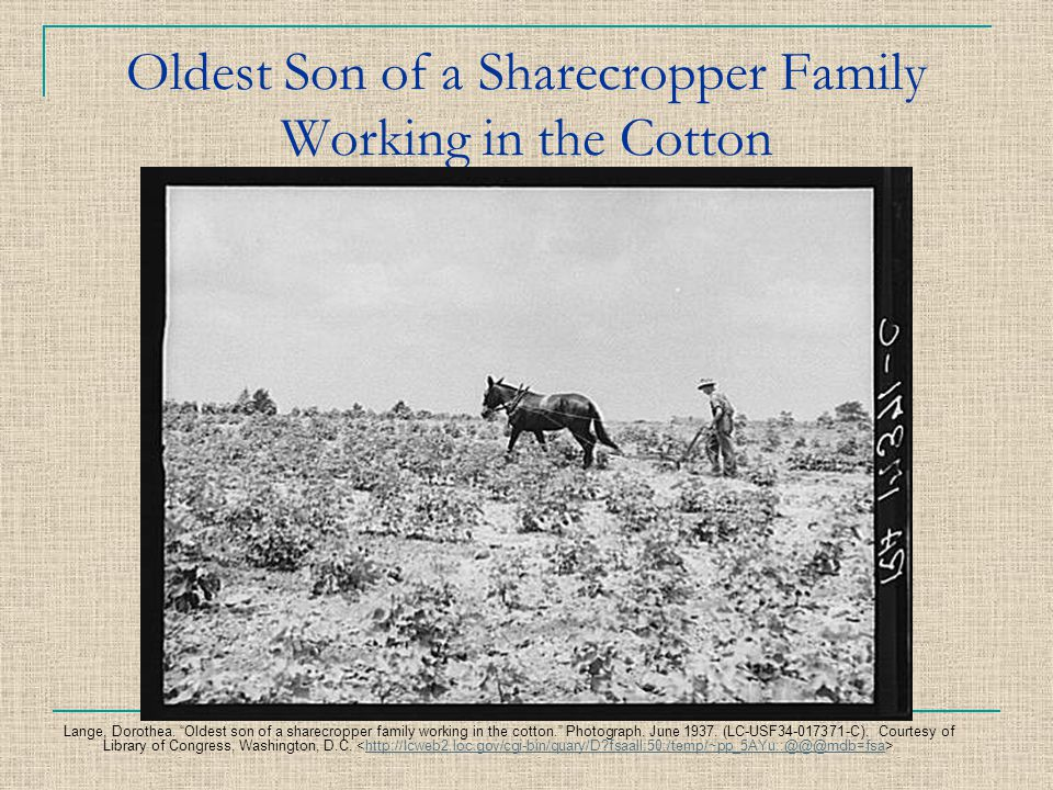 Oldest Son of a Sharecropper Family Working in the Cotton