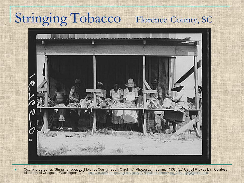 Stringing Tobacco Florence County, SC