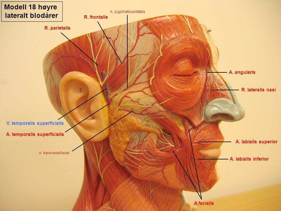 Modell 18 høyre lateralt blodårer