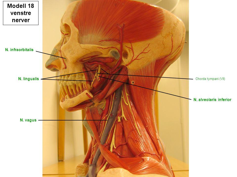 Modell 18 venstre nerver N. infraorbitalis N. lingualis