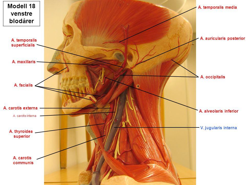 Modell 18 venstre blodårer