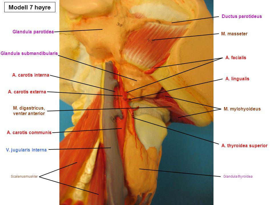 M. digastricus, venter anterior