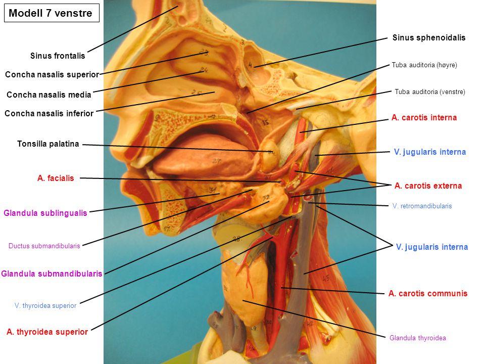 Modell 7 venstre Sinus sphenoidalis Sinus frontalis