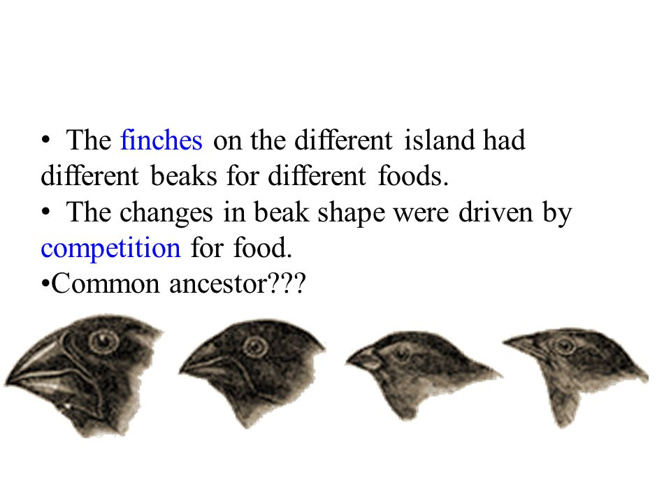 The finches on the different island had different beaks for different foods.
