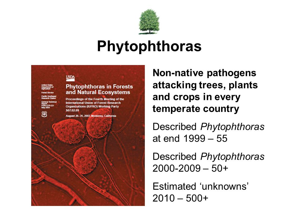 Phytophthoras Non-native pathogens attacking trees, plants and crops in every temperate country. Described Phytophthoras at end 1999 – 55.