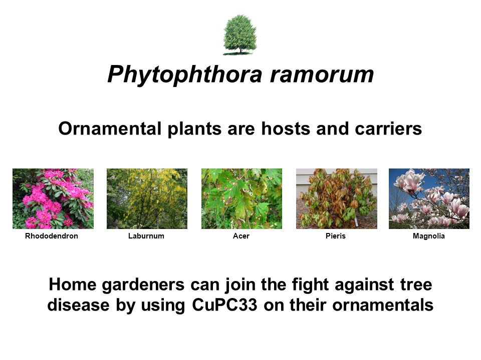Phytophthora ramorum Ornamental plants are hosts and carriers
