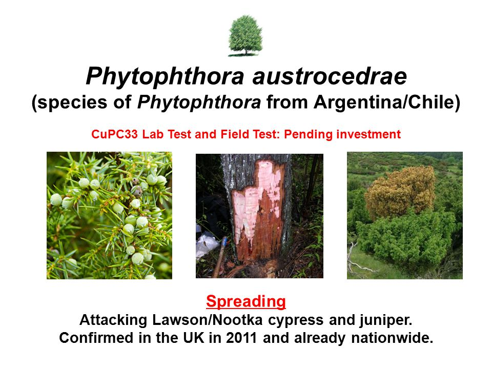 Phytophthora austrocedrae (species of Phytophthora from Argentina/Chile)