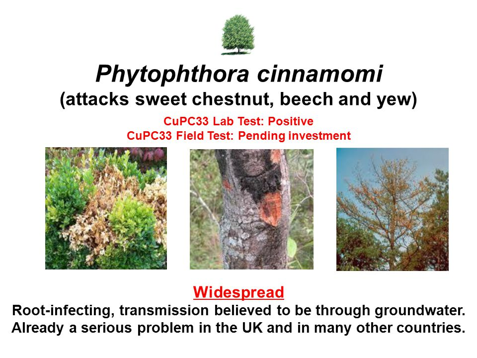 Phytophthora cinnamomi (attacks sweet chestnut, beech and yew)
