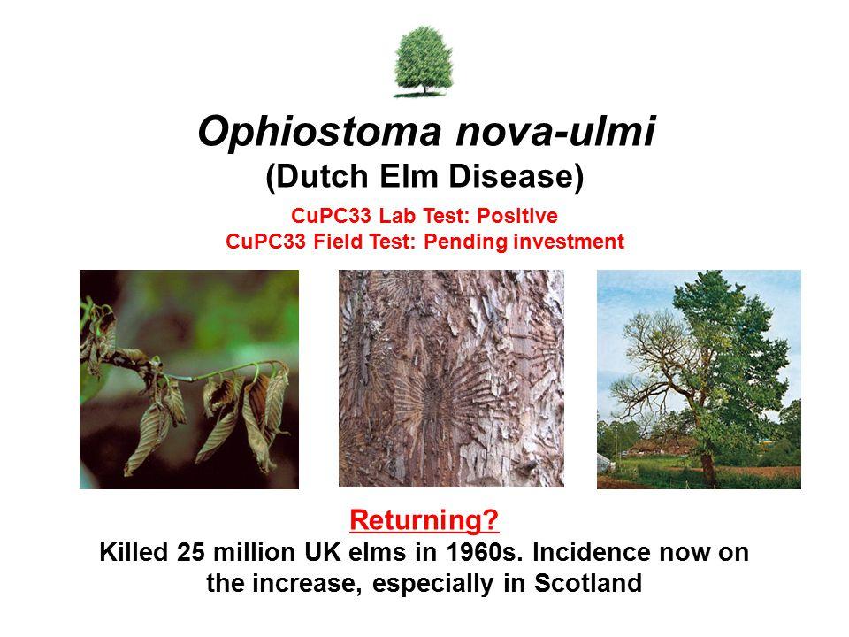 Ophiostoma nova-ulmi (Dutch Elm Disease)
