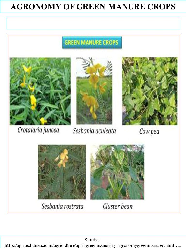 AGRONOMY OF GREEN MANURE CROPS