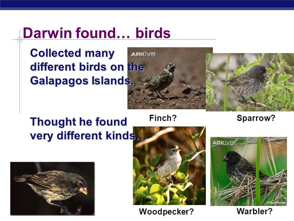 Darwin found… birds Collected many different birds on the Galapagos Islands. Thought he found very different kinds…