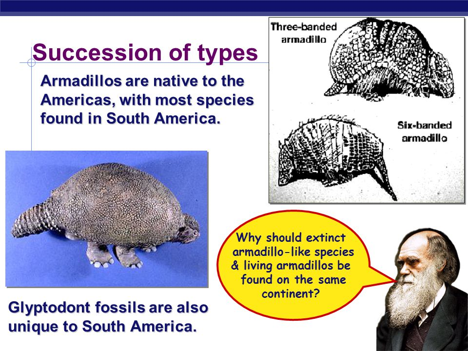 Succession of types Armadillos are native to the Americas, with most species found in South America.