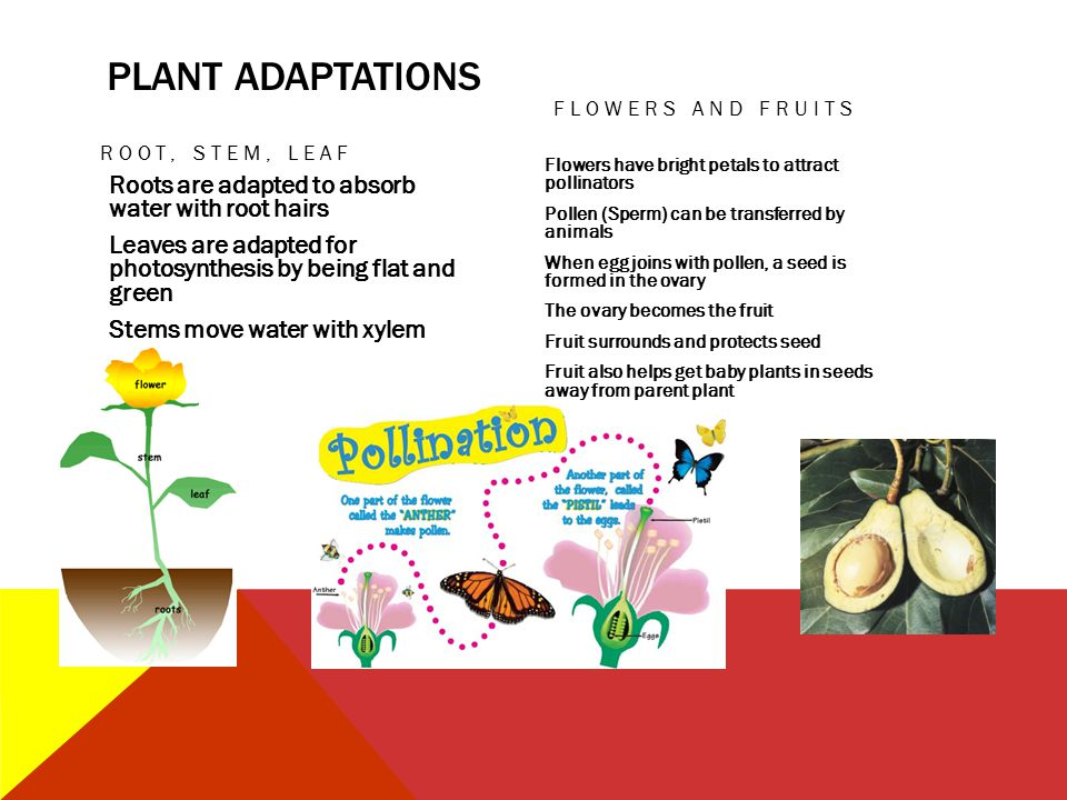 PLANT ADAPTATIONS Flowers and Fruits. Root, stem, Leaf.