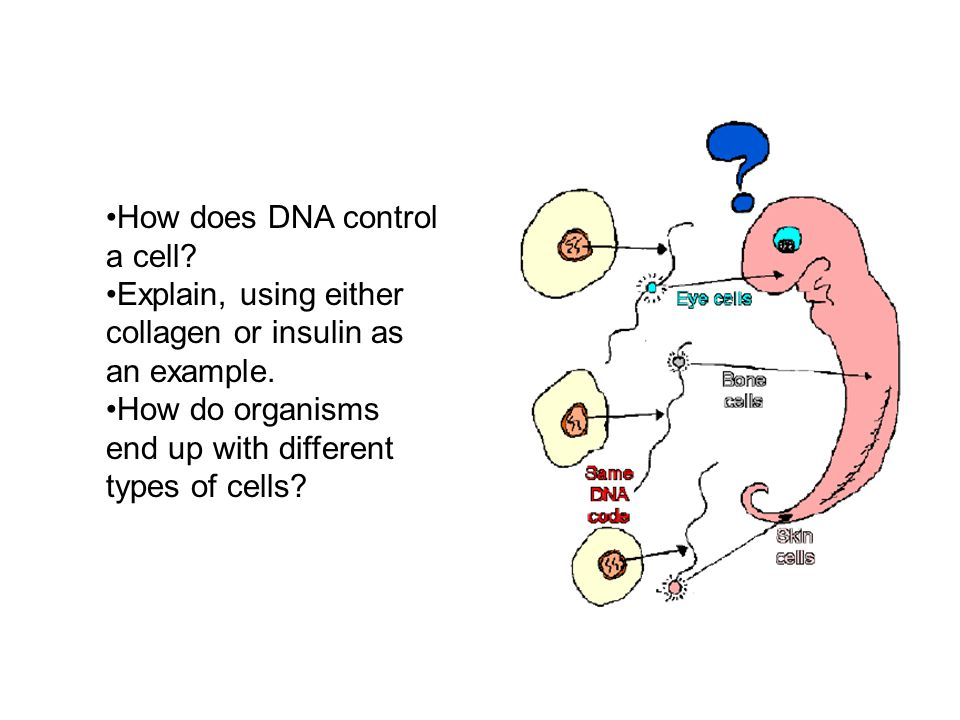How does DNA control a cell