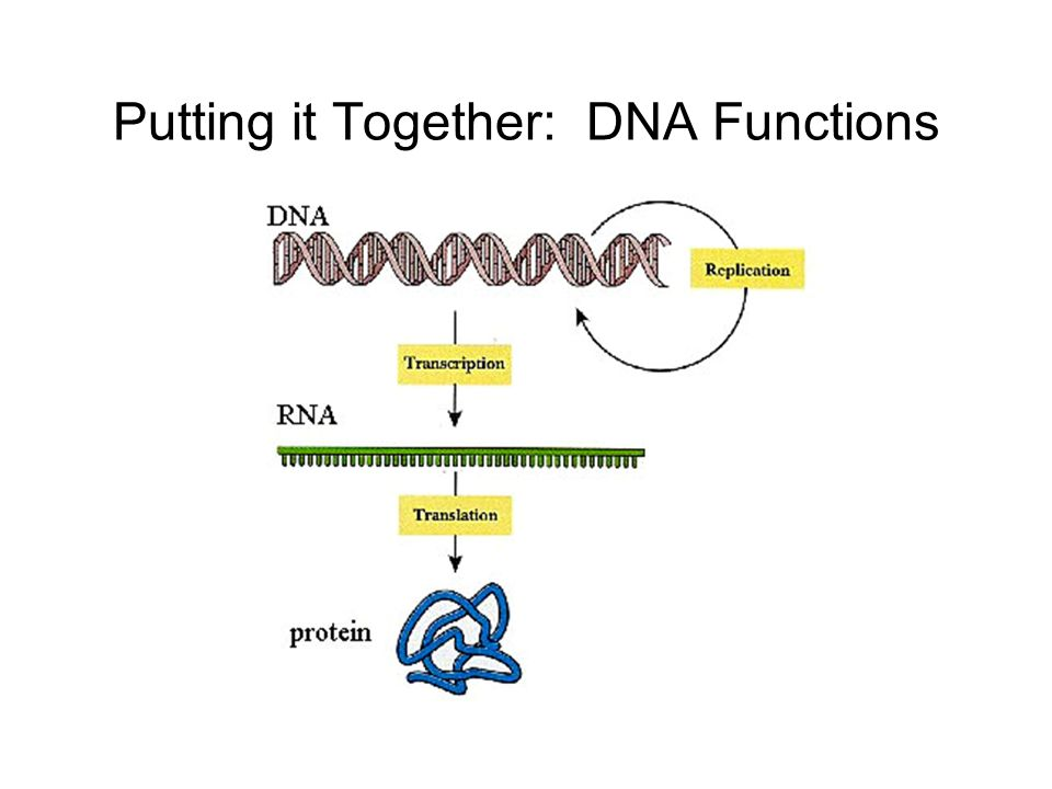 Putting it Together: DNA Functions
