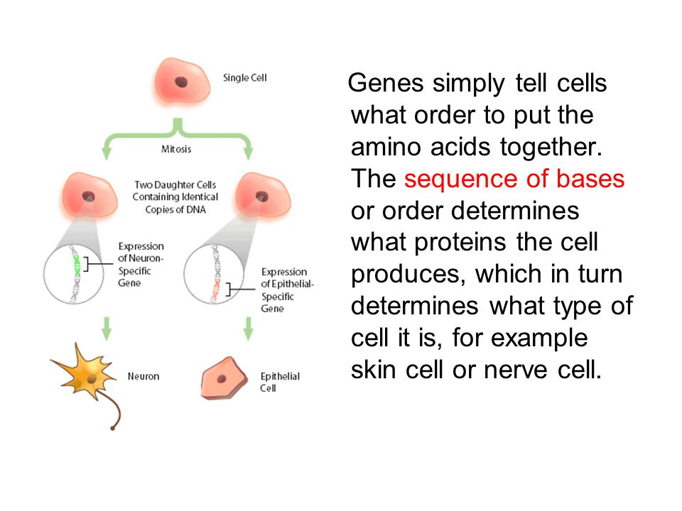 Genes simply tell cells what order to put the amino acids together