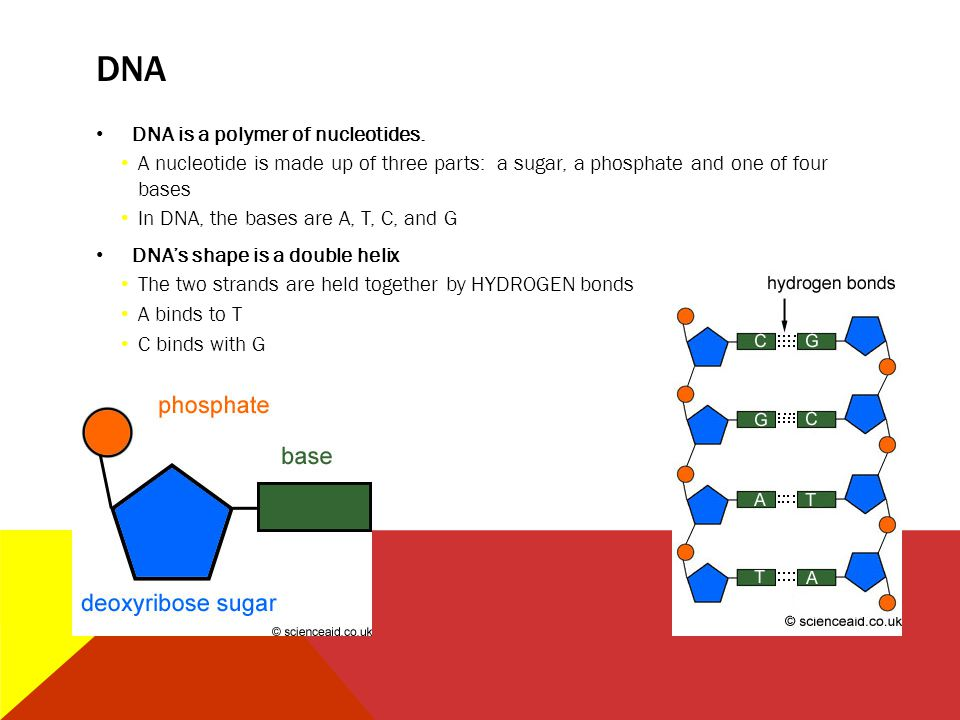 DNA DNA is a polymer of nucleotides.