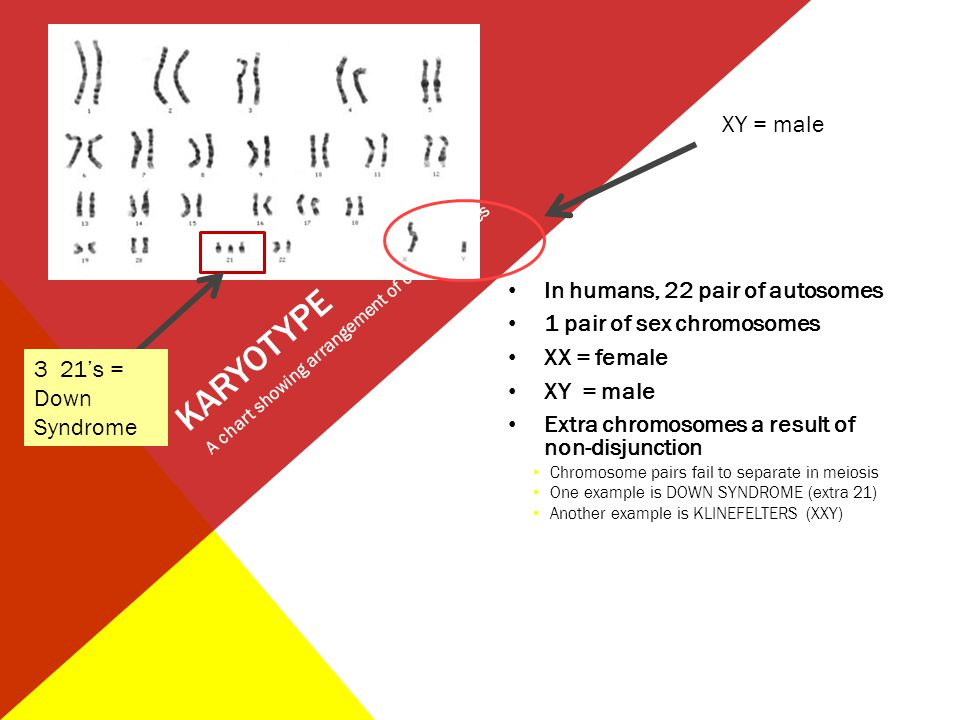 KARYOTYPE XY = male In humans, 22 pair of autosomes