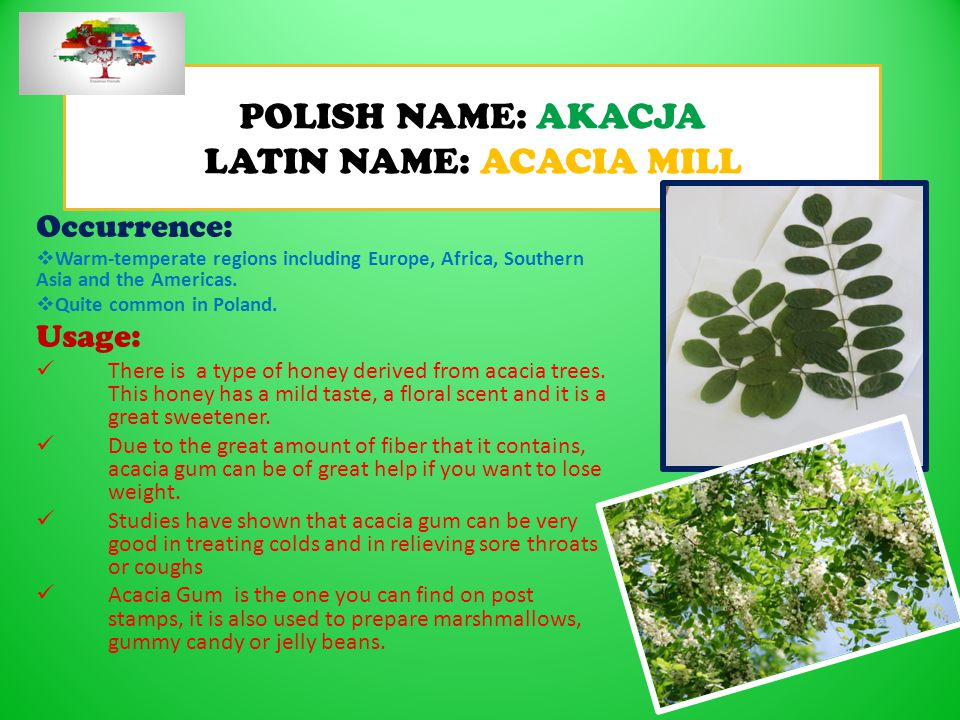 POLISH NAME: AKACJA LATIN NAME: ACACIA MILL