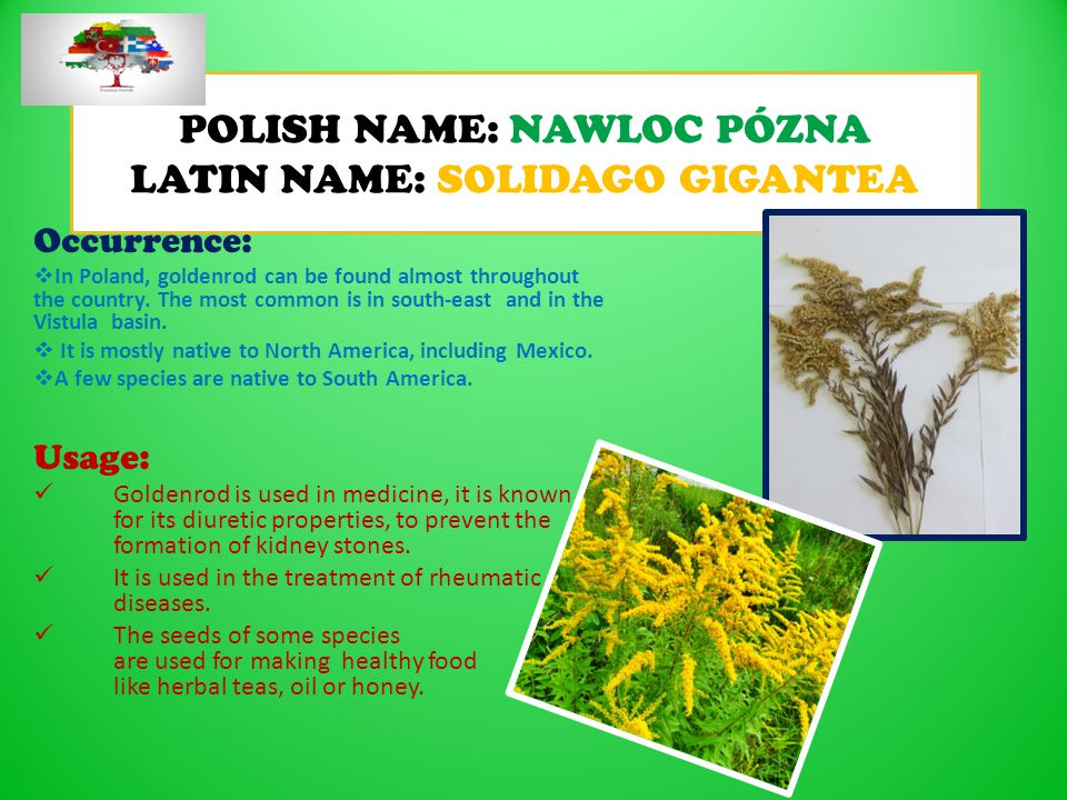 POLISH NAME: NAWLOC PÓZNA LATIN NAME: SOLIDAGO GIGANTEA