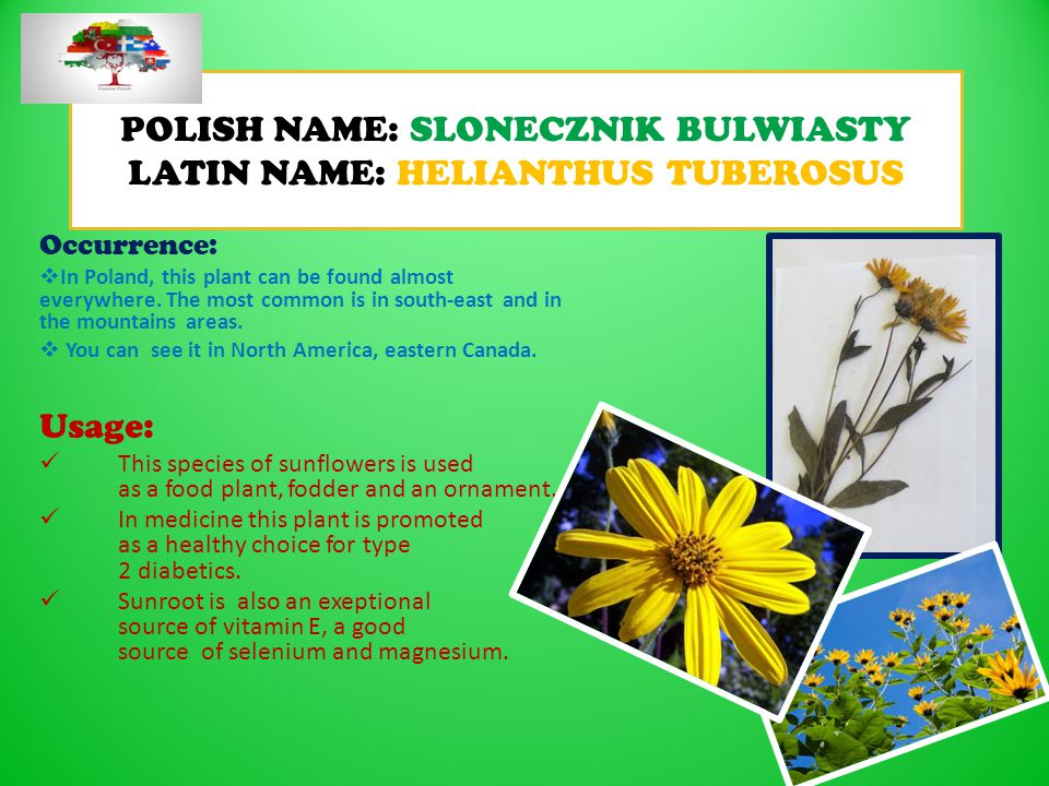POLISH NAME: SLONECZNIK BULWIASTY LATIN NAME: HELIANTHUS TUBEROSUS