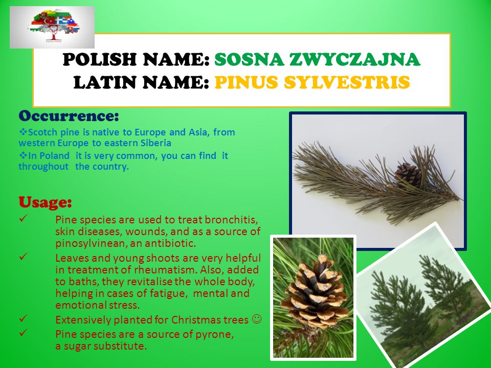POLISH NAME: SOSNA ZWYCZAJNA LATIN NAME: PINUS SYLVESTRIS