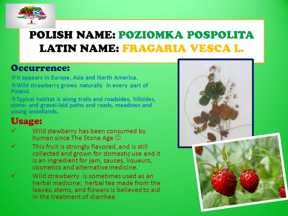 POLISH NAME: POZIOMKA POSPOLITA LATIN NAME: FRAGARIA VESCA L.