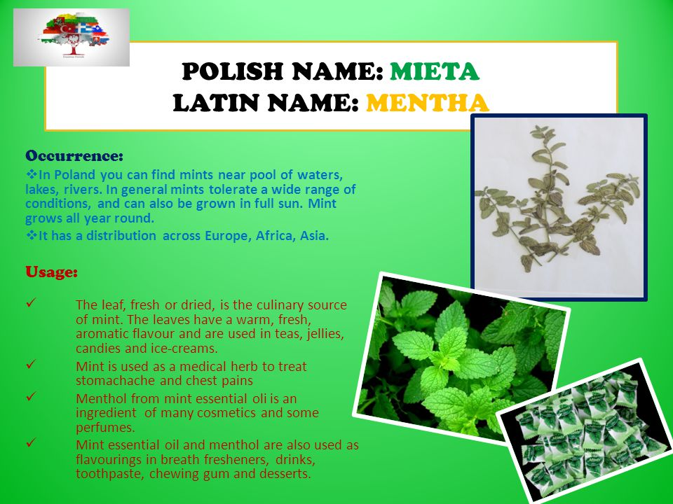 POLISH NAME: MIETA LATIN NAME: MENTHA