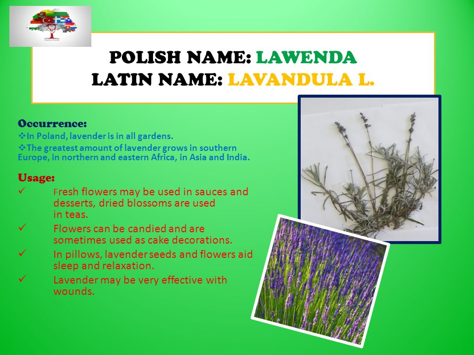 POLISH NAME: LAWENDA LATIN NAME: LAVANDULA L.