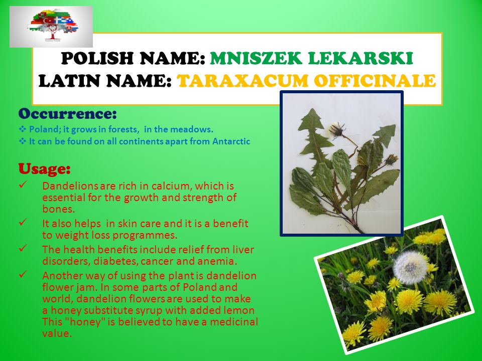 POLISH NAME: MNISZEK LEKARSKI LATIN NAME: TARAXACUM OFFICINALE