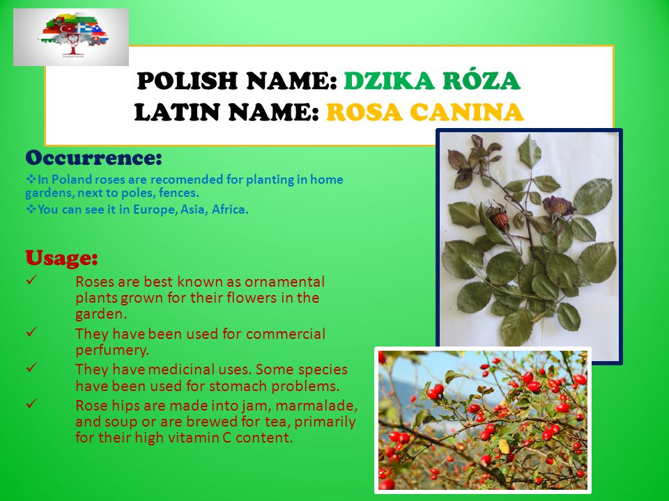 POLISH NAME: DZIKA RÓZA LATIN NAME: ROSA CANINA