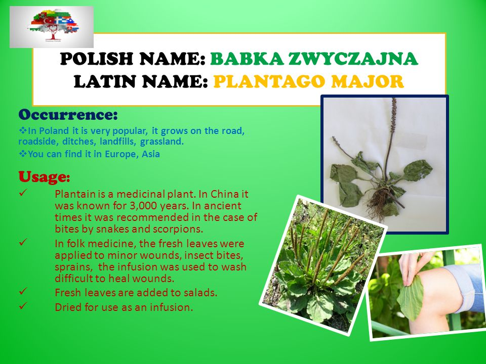 POLISH NAME: BABKA ZWYCZAJNA LATIN NAME: PLANTAGO MAJOR