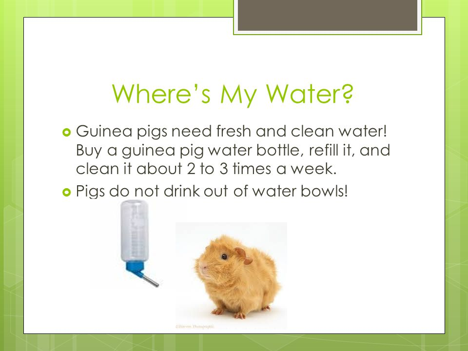 How Much Should A Guinea Pig Drink Daily